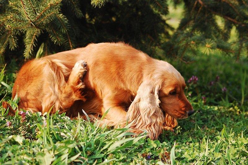 Drapiący się pies