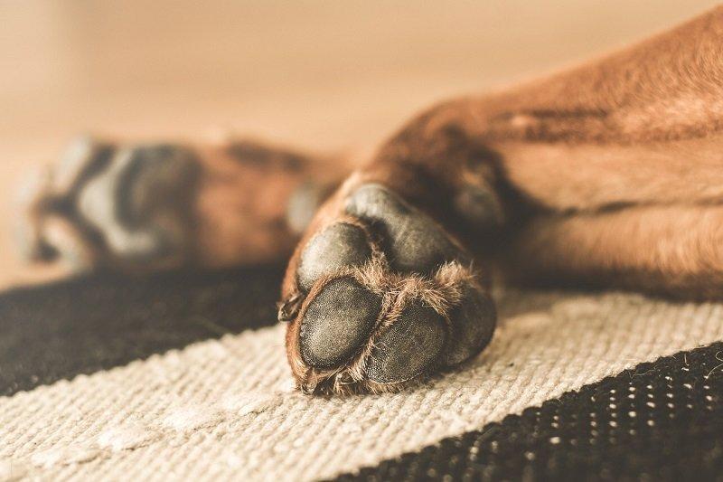 Zerwane więzadło krzyżowe u psa